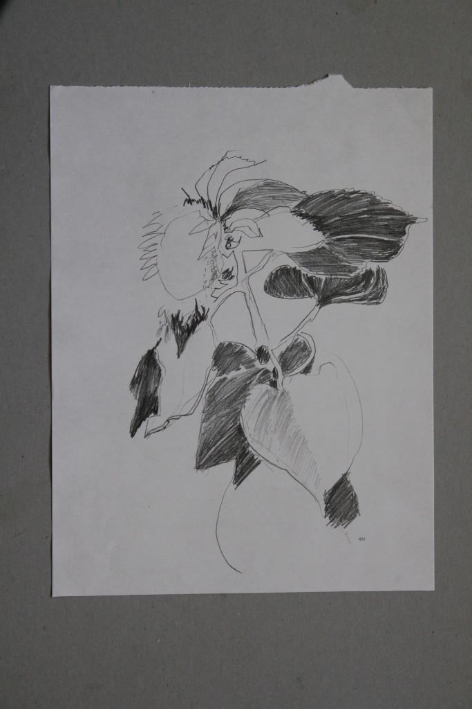 Sonnenblumen, Bleistift auf Papier, 1981, 29,7 x 39,7